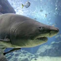 Jual Shark Cartilage