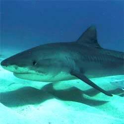 Manfaat Squalene Yang Berasal Dari Hati Ikan Hiu